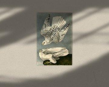Gerfalke, John James Audubon