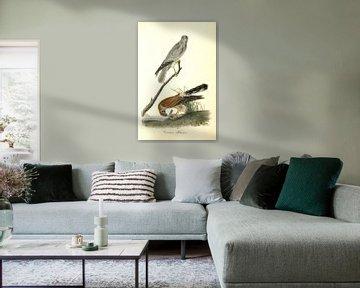 Common Harrier., Audubon, John James, 1785-1851