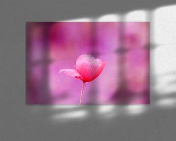 De klaproos (roze) van Carmen Fotografie