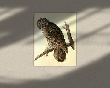 Uil, Great Cinereous Owl., Audubon, John James, 1785-1851
