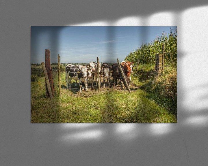 Sfeerimpressie: Nieuwsgierige koeien in Zuid-Limburg van John Kreukniet