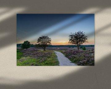 Blossoming Heather plants in a nature reserve during sunset van Sjoerd van der Wal