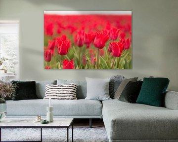 Rode tulpen als achtergrond foto von Tonko Oosterink