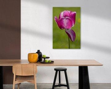Tulpe von Stefanie Rickenthäler