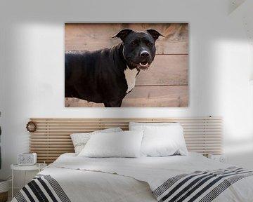 American Staffordshire terrier Roxy von Jeannet Bijlsma