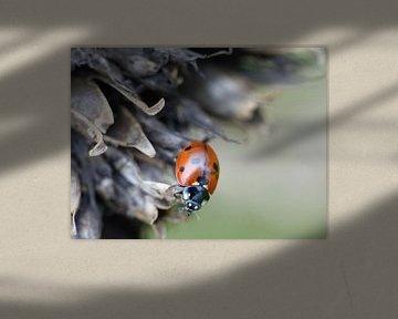 Lieveheersbeestje op uitgebloeide bloem. Collage, drieluik #1 sur Gonnie van Hove