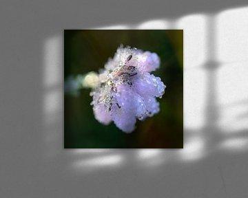 Heideblume mit Wassertrophen von Barbara Brolsma