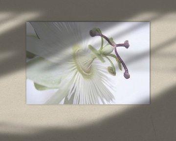 Weiße Passionsblume von Jessica van den Heuvel