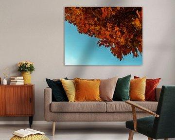 Herfst, esdoorn met rode bladeren en blauwe lucht van Roger VDB