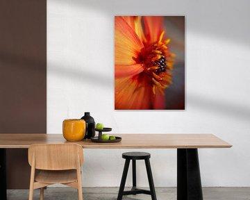 Oranje Dahlia von Brigitte Hofman-Balfoort