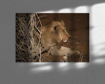 Leeuw in Krugerpark Zuid Afrika von Sandra van Vugt