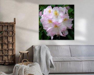 Rhododendronblüte von Gisela Scheffbuch