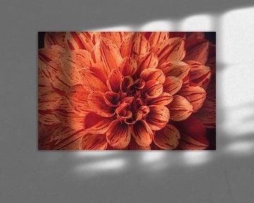 Orange Dahlien voll auf Bildern von Stedom Fotografie