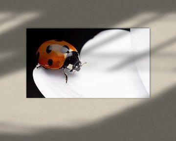 Lieveheersbeestje op spaanse margriet macro van Mark Verhagen