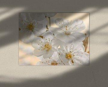 Kirschblüten beige