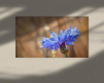 De korenbloem (Centaurea cyanus) van Fotografiecor .nl