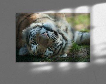 Siberische tijger onderste boven sur Renate Peppenster