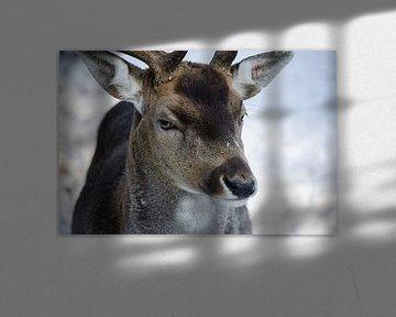 Hert in Oisterwijkse bossen von Ronne Vinkx