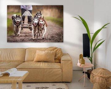 Siberian Husky von Hamperium Photography
