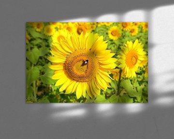 Zonnebloemen in de Dordogne