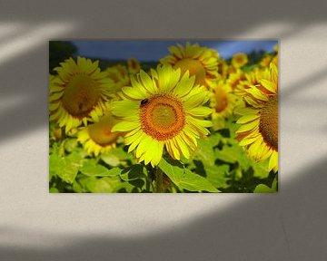 Sunflowers von 7Horses Photography