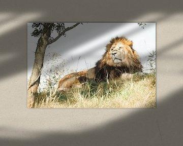 Leeuw ligt te rusten in de schaduw van Sjoerd van der Wal