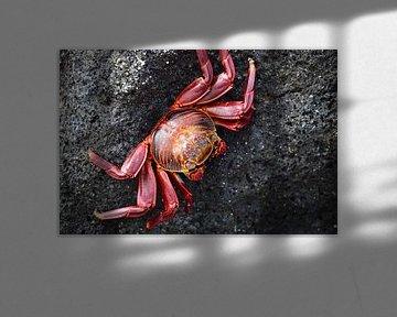 Rode krab sur Jaap Voets