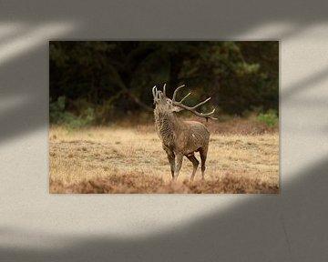 Edelhert / Red deer von Jan Katsman