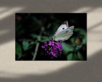 Großes Kohleweiß auf einem Schmetterlingsstrauch von Ricardo Bouman