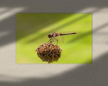 Braune Libelle von Barbara Brolsma