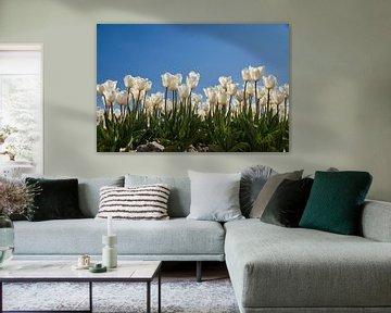 Witte tulpen van Ad Jekel