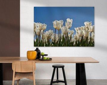 Witte tulpen tegen blauwe lucht van Ad Jekel