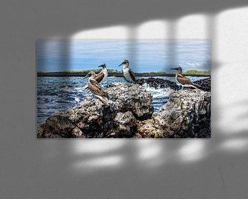 Blauwvoet Jan van Gendt vogels op Galapagos eilanden van Patrick Lauwers