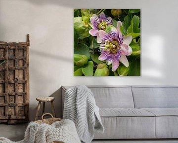 Passiebloemen von Carola van Rooy