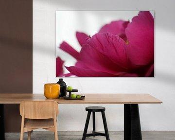 pioen(b)roos van Vittoria Roitero-Maas