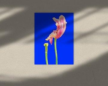 TULP IN VERVAL - BLUE (ALEXX FAASSE, 2016) von Alex Faasse