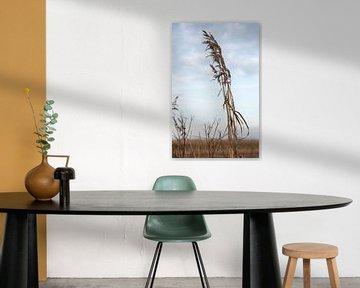 dry wheat plant