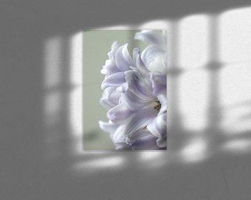 Tere hyacinth sur Monique Dijkgraaf