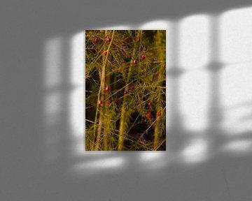 bessen van de aspergeplant in de Herfst von Mario Driessen