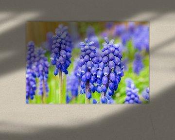 Blühende Blumen Traubenhyazinthen mit grünen Blättern im Frühling von Ben Schonewille