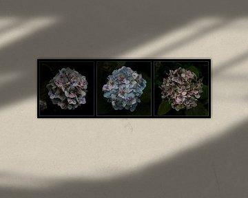 Drieluik van Hortensia 's van Hans Kool