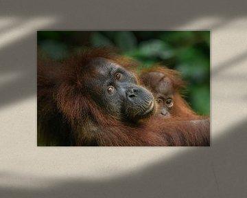 Orang-oetan moeder met kind