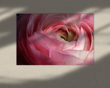 Rosafarbene Ranunkel von Liz Collet