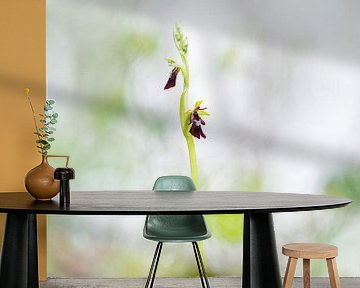 Vliegenorchis - Ophrys insectifera van Mark Meijrink