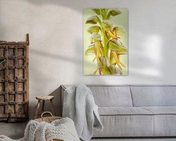 Poppenorchis - Orchis anthropophora