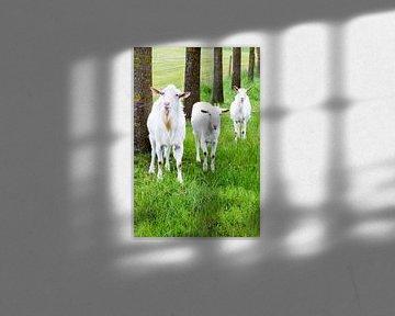 Weiße Ziegen im Gras mit Baumstämmen in der Natur sur Ben Schonewille