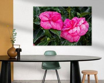 Japanische Kamelie 'Debbie' rosa - Camellia japonica von Dieter Meyer