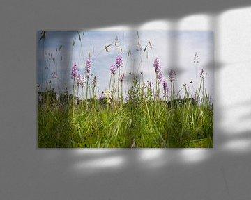 Orchideeënweide - Blauwgrasland