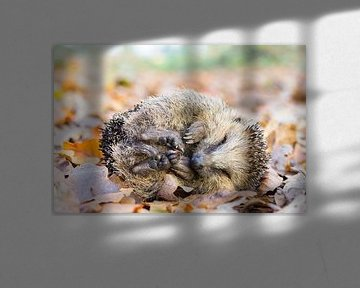 Opgerolde egel ligt op bladeren in herfst van Ben Schonewille