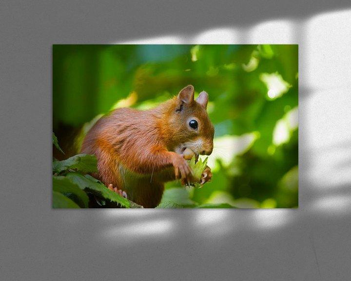 Impression: Rode Eekhoorn eet hazelnoot sur Remco Van Daalen